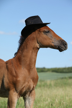 Amazing chestnut foal with hat on pasturage Stock Photo