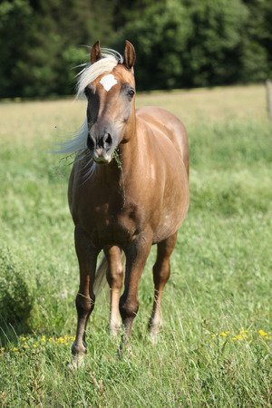 Nice horse with blond hair looking at you on pasturage