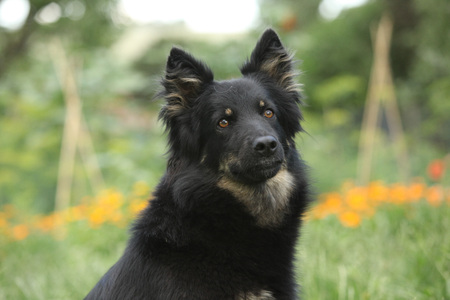 Portrait of amazing Bohemian Shepherd in the garden