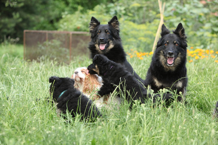inaction: Amazing Bohemian shepherds together in the garden Stock Photo