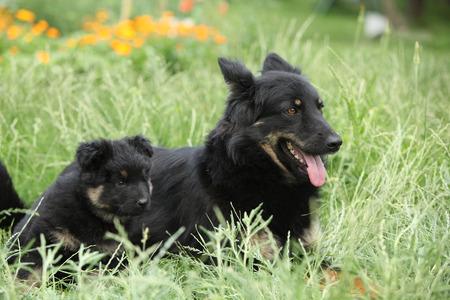 Beautiful bitch of Bohemian Shepherd with its puppies in the garden