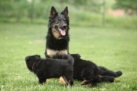 inaction: Beautiful bitch of Bohemian Shepherd with its puppies in the garden