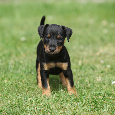 Mooie puppy van de Duitse Hunting Terrier in de tuin