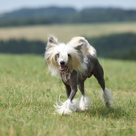 Beautiful Chinese Crested Dog running in the grass Stock Photo