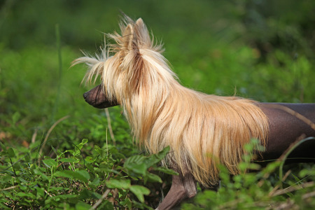inaction: Portrait of amazing Chinese Crested Dog in summer