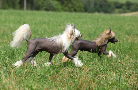 Beautiful Chinese Crested Dogs running in the grass Stock Photo