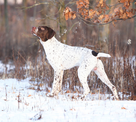 Amazing French Pointing Dog standing in winter Stock Photo