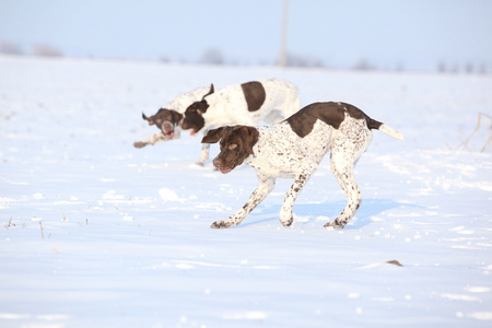 Amazing French Pointing Dogs playing in snow