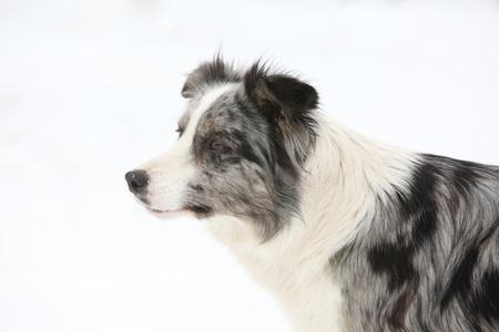 Potrait of amazing border collie in winter Stock Photo