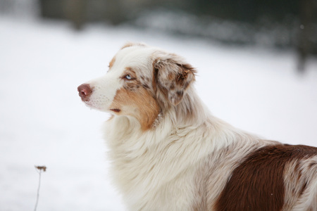 potrait: Potrait of Amazing Australian shepherd in winter
