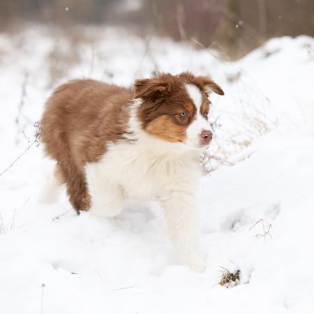 Potrait of Amazing Australian shepherd in winter