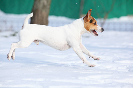 Nice white Jack russell terrier moving in winter