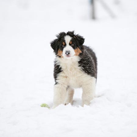 Puppy of australian shepherd on snow in winter
