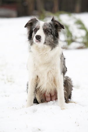 Nice Border collie sitting in the snow