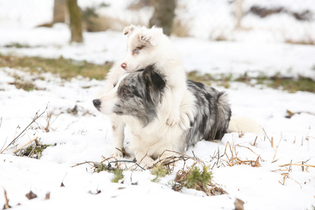 Border collie puppy playing with its mother in the snow Stock Photo