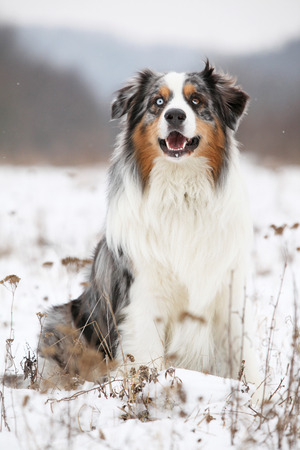 Potrait of Amazing australian shepherd in winter Stock Photo
