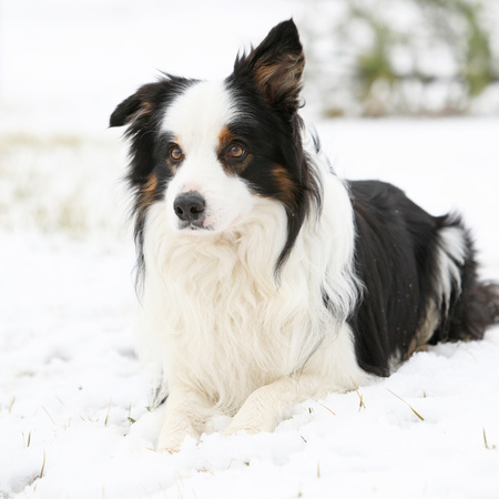 Amazing border collie lying in the snow