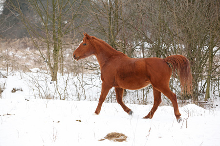 Nice chestnut horse running on the snow in winter