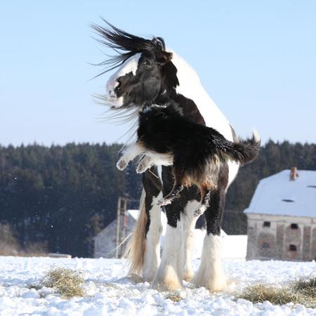 snowdrifts: Nice border collie playing with irish cob stallion in winter Stock Photo