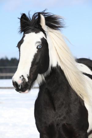 Portrait of beautiful irish cob mare in winter