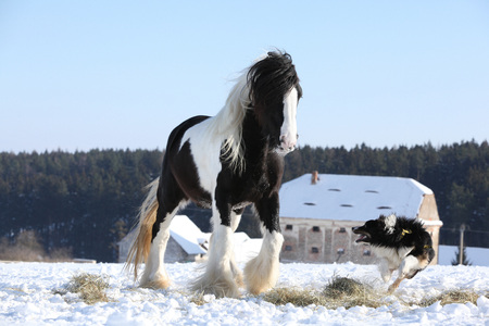 Nice border collie playing with irish cob stallion in winter Stock Photo