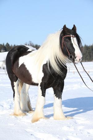 Portrait of beautiful irish cob stallion in winter