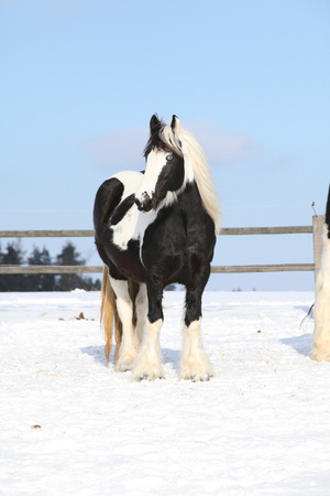 Nice irish cob mare on the snow in winter Stock Photo