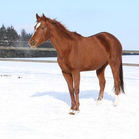 snowdrifts: Nice chestnut horse on the snow in winter
