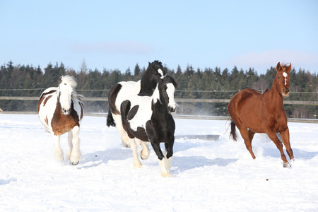 Group of irish cobs running on the snow in winter