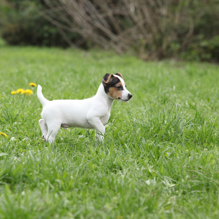 Adorable jack russell terrier puppy on the grass
