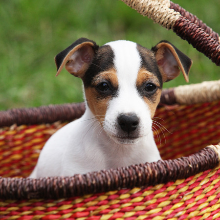 Portrait of Jack russell terrier puppy in the basket