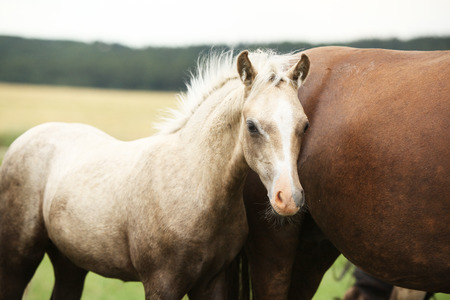 Amazing welsh part-bred foal on pasturage