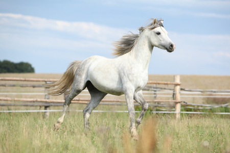 Amazing pony moving on pasturage in summer