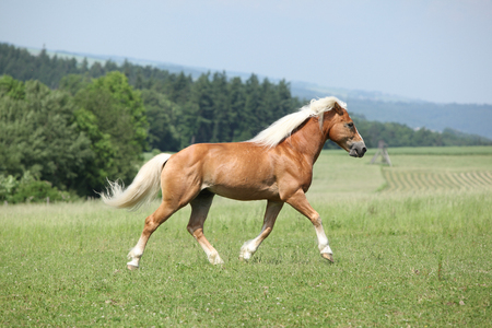 Amazing haflinger running on pasturage in summer Zdjęcie Seryjne