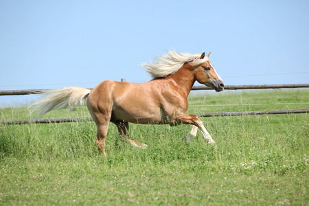 Amazing haflinger running on pasturage in summer Stock Photo
