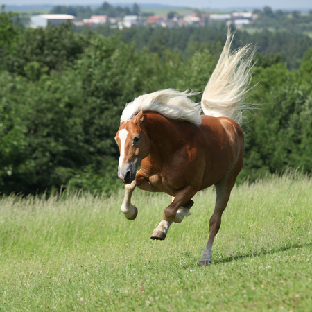 Amazing haflinger jumping on pasturage in summer