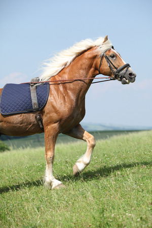 Amazing haflinger stallion with bridle in training Stock Photo