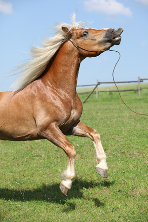 Amazing haflinger stallion prancing in beautiful summer nature