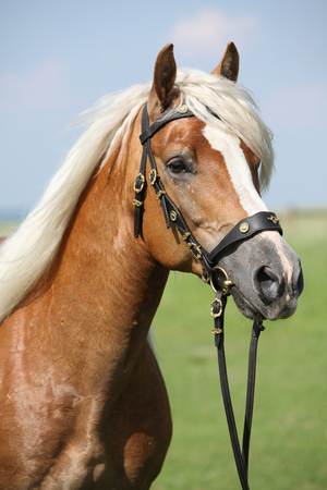 Potrait of beautiful haflinger stallion with nice bridle