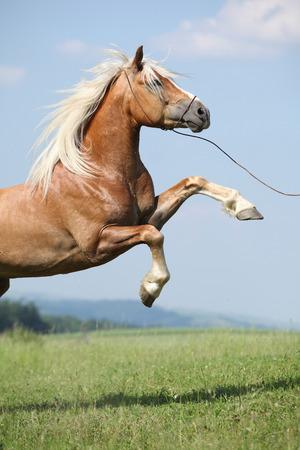 驚くほどの放牧に素敵な空の前に跳ね haflinger 種牡馬 写真素材