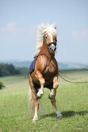 美しい夏自然に跳ね素晴らしい haflinger 種牡馬