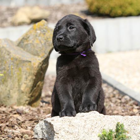 Amazing black labrador puppy in beautiful garden