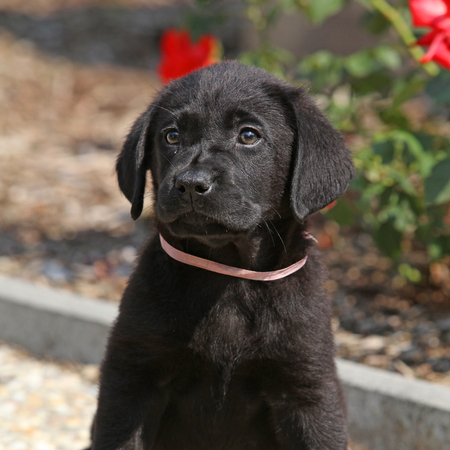 Amazing black labrador puppy in beautiful garden