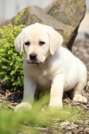 Beautiful creme labrador puppy in beautiful garden