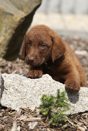 Adorable and amazing chesapeake bay retriever puppy on stone