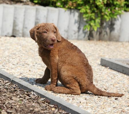 Amazing chesapeake bay retriever puppy sitting on stone path Stock Photo
