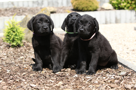 Amazing puppies of labrador retriever in the garden Stok Fotoğraf