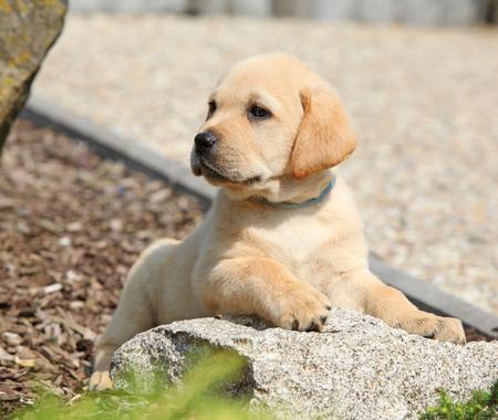 Adorable labrador retriever lying on the stone