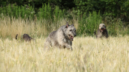 Amazing irish wolfhounds running together in nature