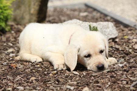 Adorable labrador retriever lying in the garden